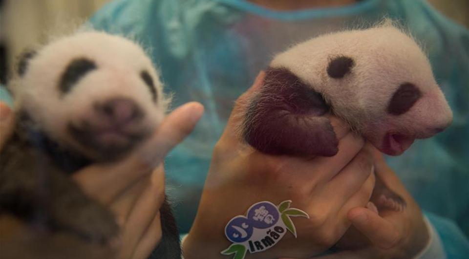 Los cachorros de panda gigante Dabao y Xiaobao