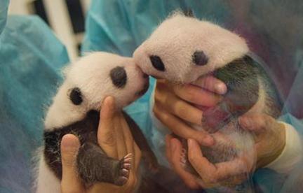 Dos pandas gemelos de Macao hacen suspirar por primera vez a visitantes