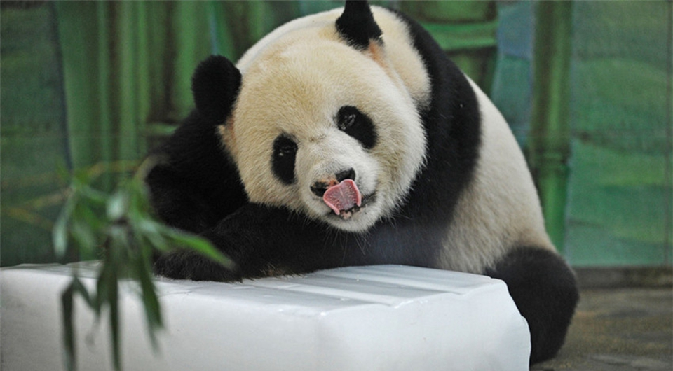 Panda Weiwei veranearando con hielo