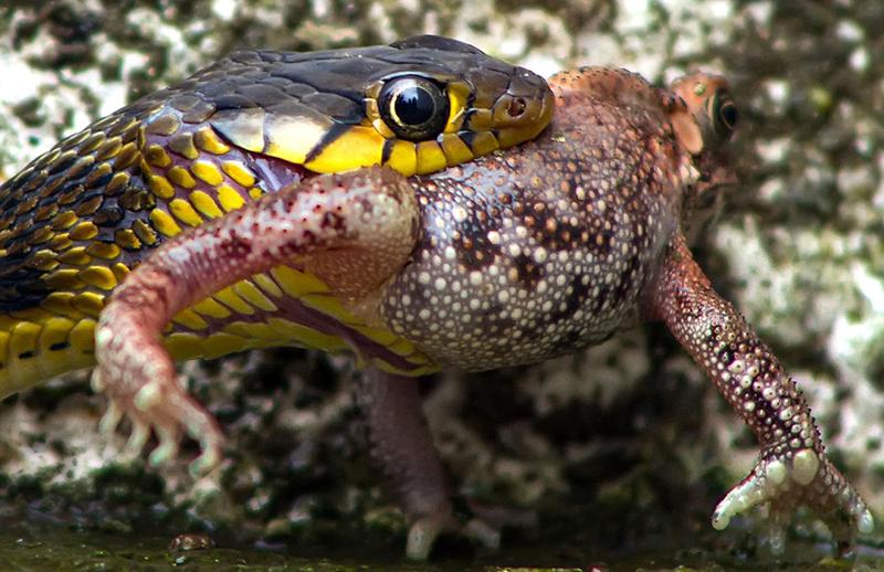 Serpiente devorando rana