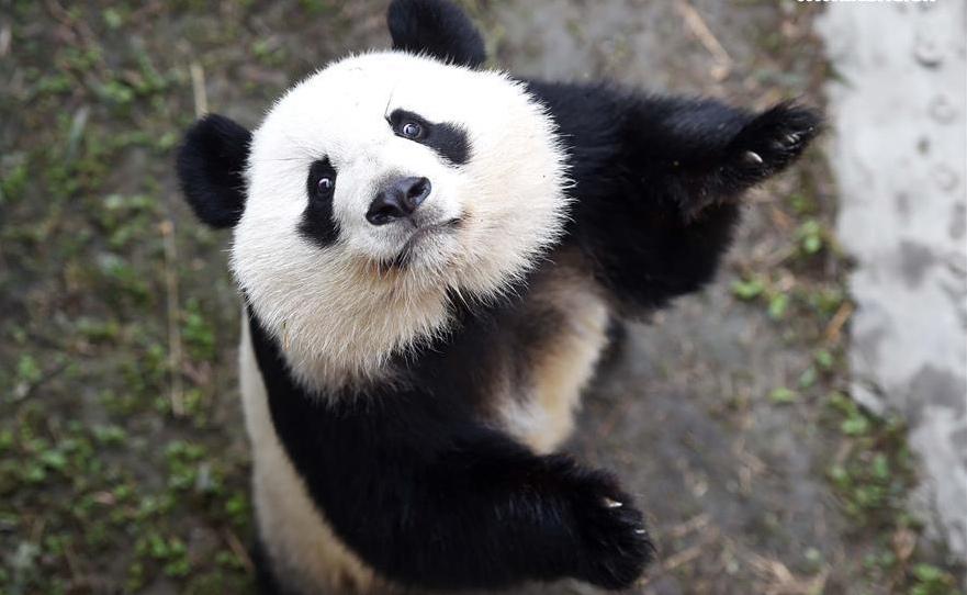 El público visita a los mellizos panda después de cumplir cuarentena en China