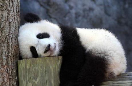 Empieza rodaje de primera película de pandas en IMAX 3D en suroeste de China