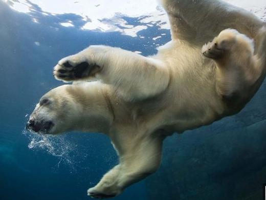 Fotos de osos polares