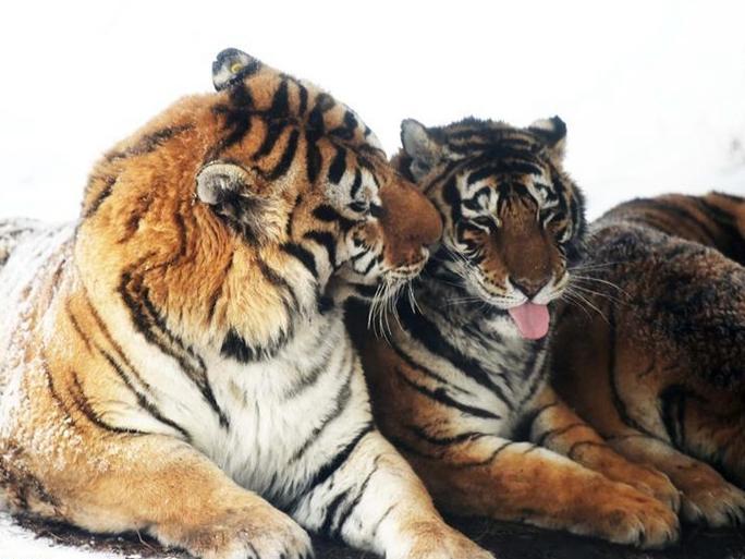 Fotos de tigres siberianos en la nieve en Harbin