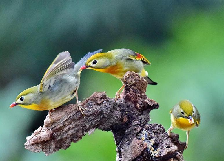 Fotos de pájaros leiothrix
