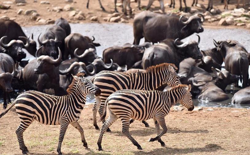 Kenia: Censo aéreo de elefantes y otros mamíferos grandes en Parque Nacional de Tsavo West