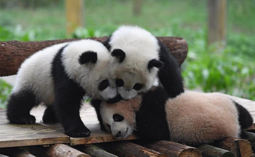 Pandas gigantes en Zoológico Chongqing