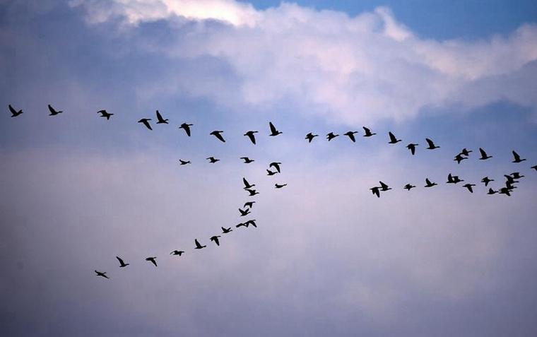 Aves migrantes vuelan en formación sobre la Reserva Natural del Lago Xingkai