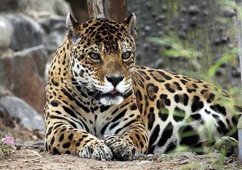 Perú: Fotos de jaguares en parque zoológico de Huachipa