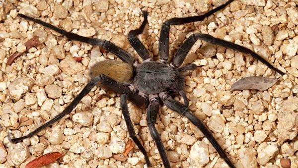 Descubren una nueva araña gigante en México