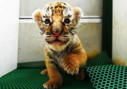 Cachorros de tigre siberiano en Centro de Crianza Felina Hengdaohezi