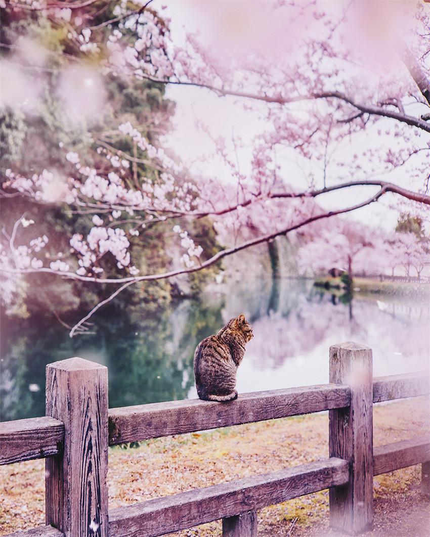 He comprado boletos a Japón durante la floración de cerezo, el viaje resulta ser un rosado cuento de hadas