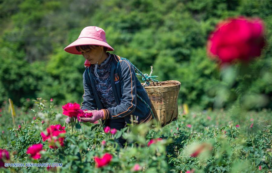 Yunnan: Platillos con rosas comestibles en Anning
