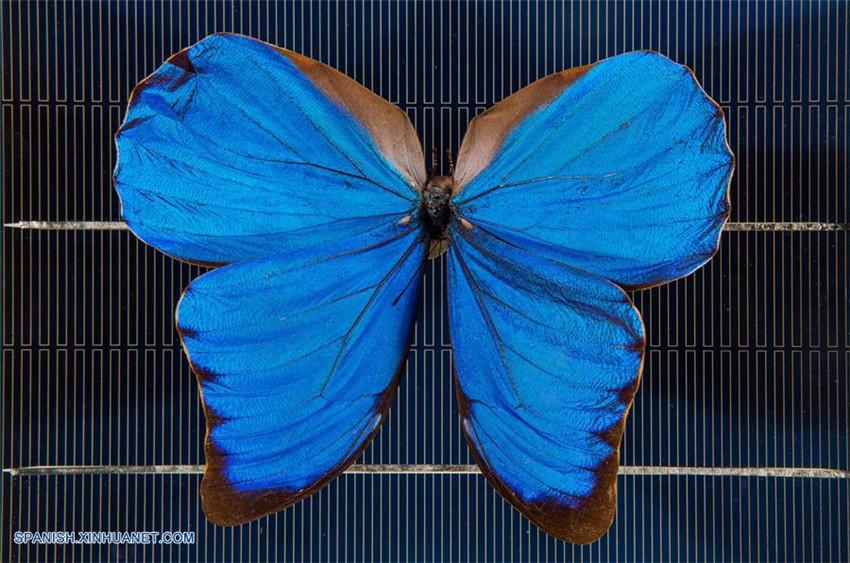 Alas de mariposa pueden ser usadas para inspirar nuevas tecnologías en celdas solares