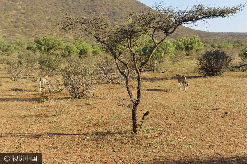 Animales salvajes en el norte de Kenia sufren mucho por la causa de sequía