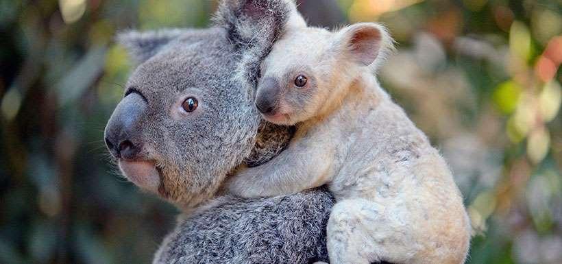 Zoológico de Australia da la bienvenida a un koala muy particular1