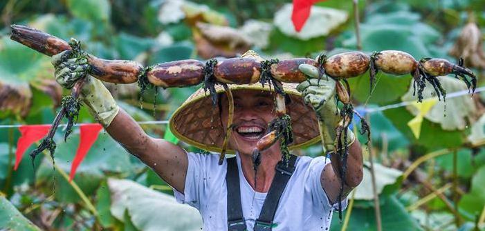 Competencia para desenterrar raíces de loto, en Zhejiang