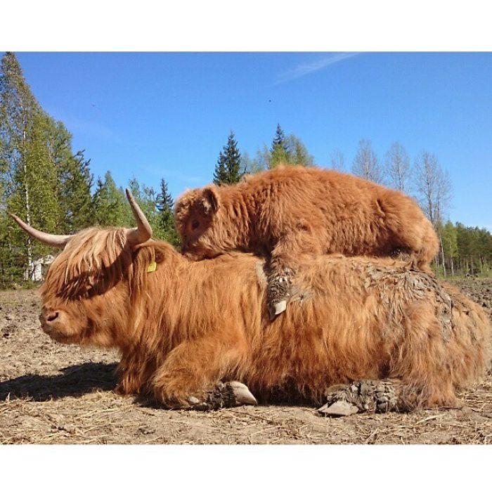 Si alguna vez estás triste, estos terneros de la raza Highland seguro que te hacen sonreír