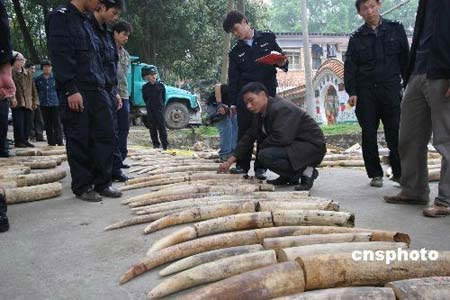Forest police of Guangxi Zhuang Autonomous Region captured over 790 kilograms ivory worth 36 million yuan, March 19, 2008