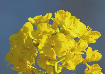 golden fields of canola flowers