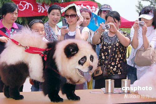 chinese pet panda dog