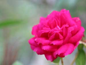Rose(月季)