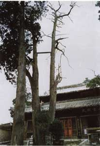 Cypress(侧柏)