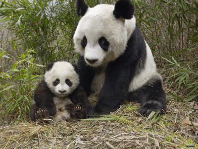 Two giant pandas living in the Chengdu Giant Panda Breeding Research Base