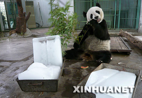 A giant panda chews bamboo beside ice blocks at the Jinan Zoo in Jinan, Shandong Province on Sunday, June 22, 2008. The zoo tried to keep its animals cool as the temperature hit 37.2 degrees Celsius (98.9 degrees Fahrenheit).