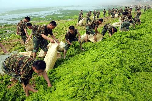 Algae cleaning in full swing -- china org cn