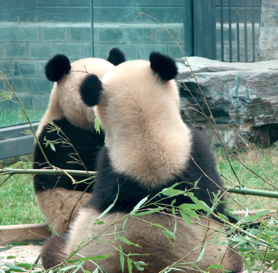 Olympic Pandas: The funny side