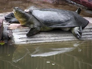 In this photo released by Wildlife Conservation Society, a female soft-shell turtle rests near a pool inside a zoo in Suzhou, China, May 9, 2008. Breathless scientists watched as they successfully mated. But the attempt to breed an endangered turtle's last known female with China's last known male has failed because the eggs didn't hatch, disappointed conservationists say. [China Daily via Agencies]