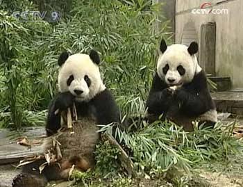 Final preparations are underway in Taiwan to welcome two pandas from the mainland as goodwill gifts.