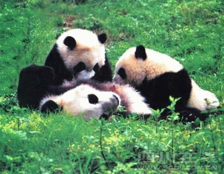Climate change could force pandas to shift their homes, a World Wide Fund for Nature (WWF) study revealed - and the results on Sichuan's tourism industry could be far-reaching.