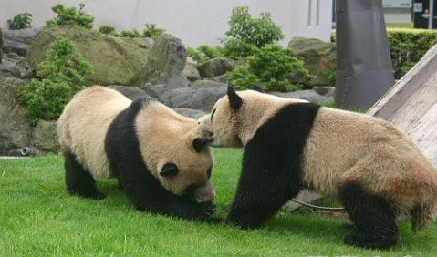 Pandas engage in a real <EM>Kung Fu </EM>fight -- china.org.cn