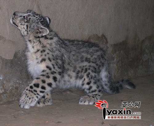 The photo shows one snow leopard raised by Zhang Peiwei, a herdman in the Xinjiang Uygur Autonomous Region.