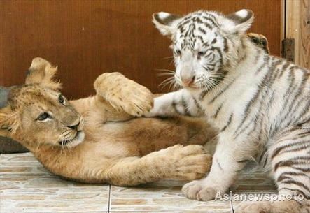 Lions and tigers in pairs -- china.org.cn
