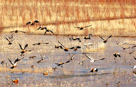 Migratory birds fly above the Lhasa River wetland in southwest China's Tibet Autonomous Region, Nov. 26, 2008. Tens of thousands of migratory birds have flown to the Lhasa River wetland recently to spend their winter days. [Xinhua]