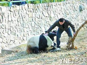 Gugu, a nine-year old male panda, knocked Zhang Xiao down and bit his left leg at Beijing Zoo in the afternoon of January 7.