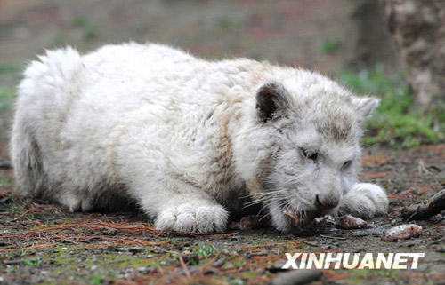 A snow white tiger cub devours food at Guiyang Wildlife Zoo, Guizhou province Tuesday, February 17, 2009. Known as 'silver tiger' in China, the animals are silver white with opaque stripes.