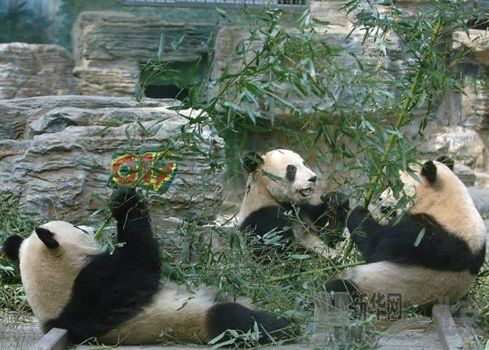 The 'Olympic Pandas' eat bamboos at Beijing Zoo March 17, 2009.