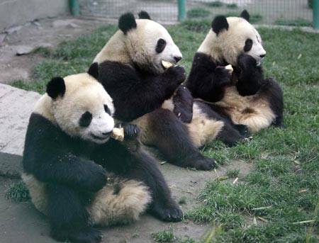 Low birth rate feared for quake zone pandas