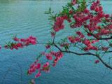 Blossoms of Purple Glow Lake
