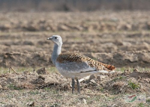 A great bustard living in the Baiyangdian Wetland, Hebei Province. With the improvement of the environment in the area since 2006, numbers of the endangered species have increased measurably. [China.com.cn]