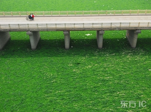 File photo shows the eichhornia crassipes (also called 'water hyacinth') covering the water.