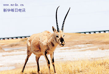 File photo: Tibetan antelope