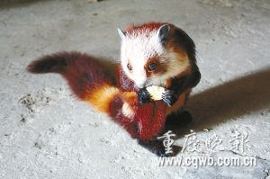 Chinese giant flying squirrel - photo#9