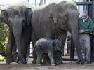 Asian elephant, endangered species, born in Sydney