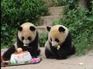 Panda twins celebrate birthday