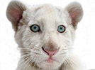 Pure white Bengal tiger astonishes keepers